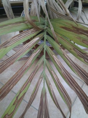Kentia-Palme trocken und leblos - Pflanzenkrankheiten